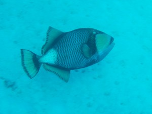 A Trigger fish - not the one that attacked Ian!