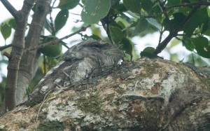 Frogmouth sitting in a tree above Barratt Creek