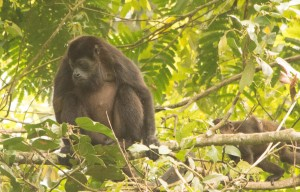 Howler Monkey at Cahuita National Park
