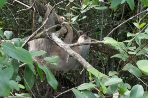 Sloth on the riverbank