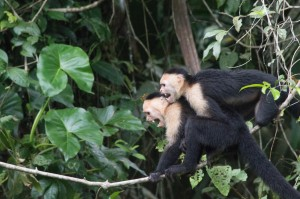 White-throated Capuchins at Tortuguero National Park - we think they must have seen a snake or a croc