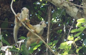 Squirrel Monkeys at Manuel Antonio